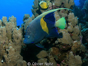 Arabian Angelfish, a shy and very beautiful fish by Olivier Notz 